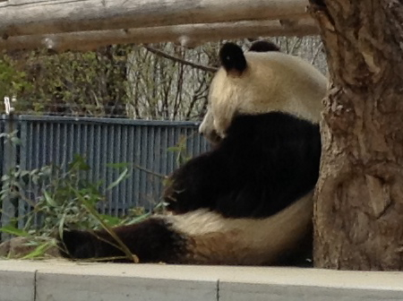「王子動物園」パンダを横から見た様子