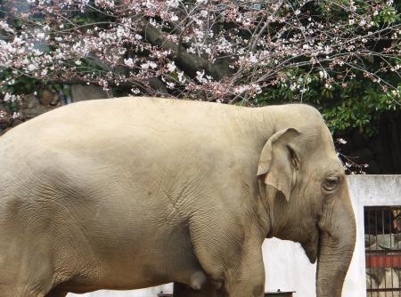 「王子動物園」ゾウ