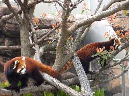 「王子動物園」レッサーパンダ
