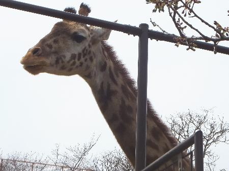 「王子動物園」キリン