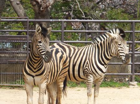 「王子動物園」シマウマ
