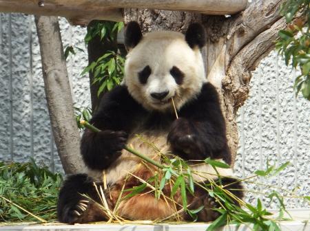 「王子動物園」パンダが竹を食べている様子