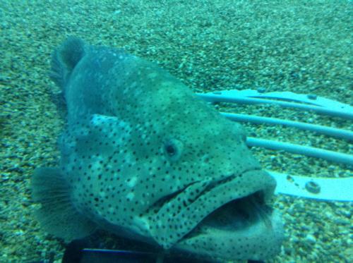 海遊館の巨大な魚「ヤイトハタ」