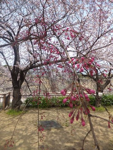 桜満開、大阪城のお花見スポット