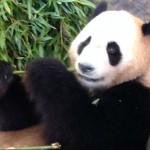 アドベンチャーワールドはパンダが一杯!パンダはどこにいるの?