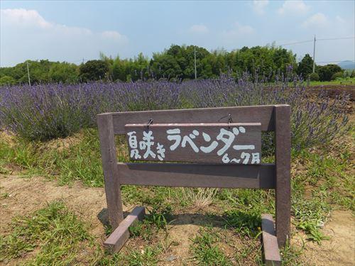 和泉リサイクル環境公園でラベンダー畑鑑賞