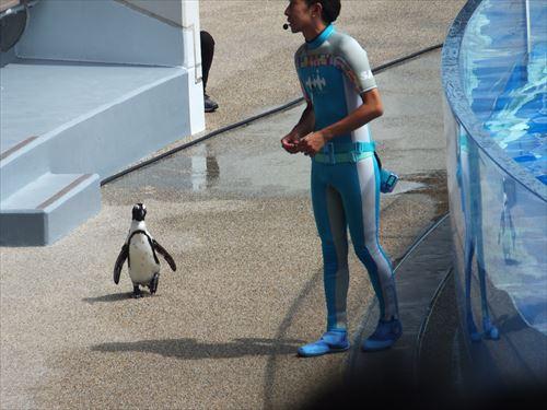 京都水族館のイルカショーにペンギン登場