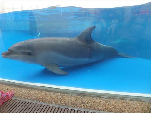 京都水族館のイルカショー。水槽底にいるイルカ