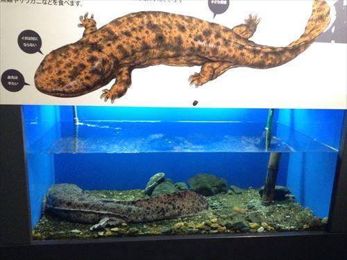 京都水族館・オオサンショウウオ
