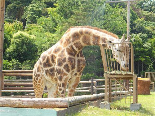 みさき公園の動物園・きりん