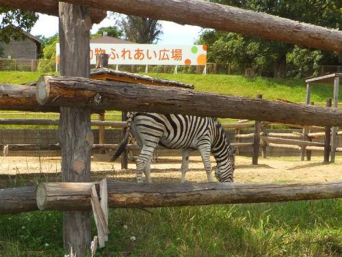 みさき公園・動物園・しまうま