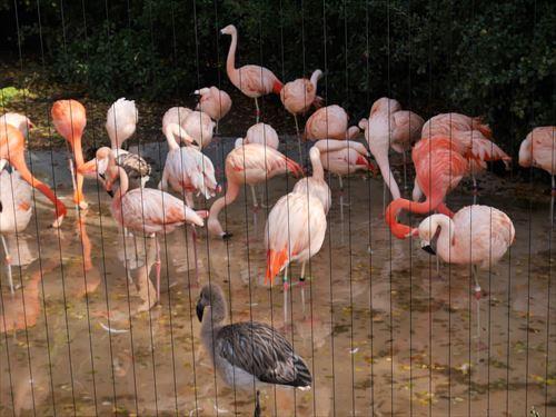 フラミンゴ・天王寺動物園