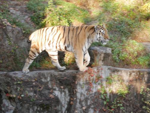 天王寺動物園のトラ