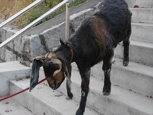 天王寺動物園のヤギ