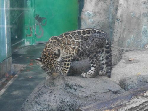 黒ヒョウの赤ちゃん・天王寺動物園