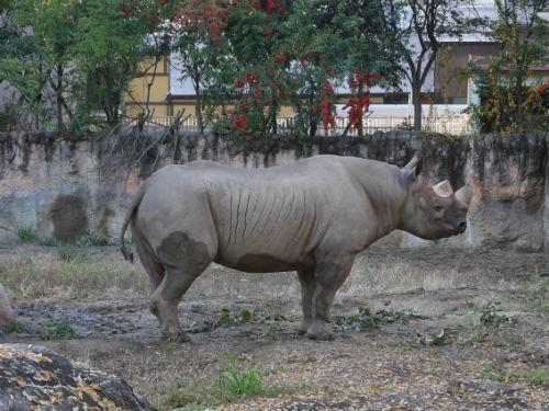 天王寺動物園のクロサイ