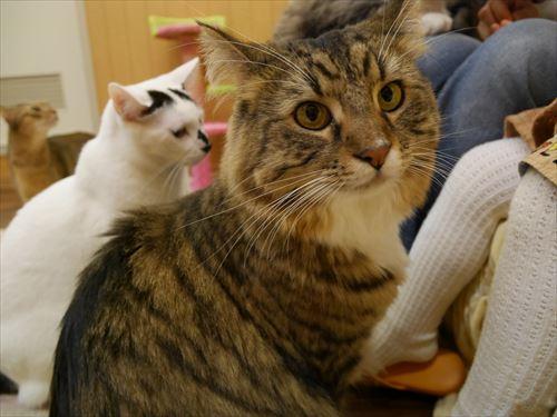 堺東駅・猫カフェ「ゆる猫」食べ物に猫接近