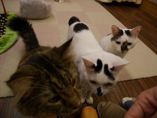 堺東駅・猫カフェ「ゆる猫」エサに接近する猫