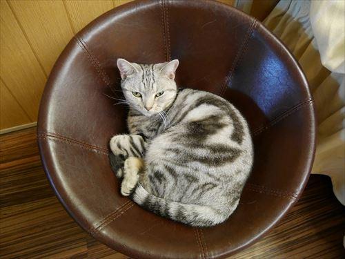 堺東駅・猫カフェ「ゆる猫」のネコ