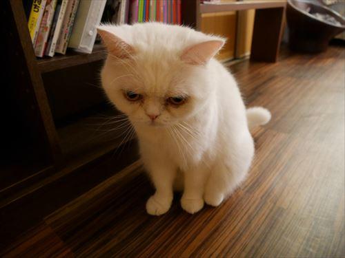 堺東駅・猫カフェ「ゆる猫」お疲れな猫