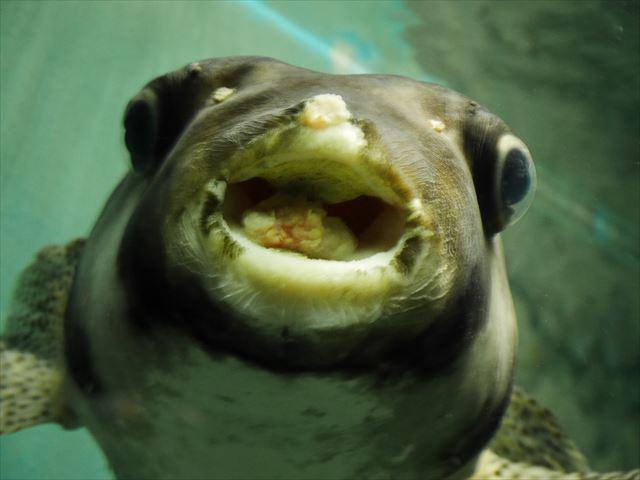 神戸市立須磨海浜水族園の生き物やアトラクション・ふぐ
