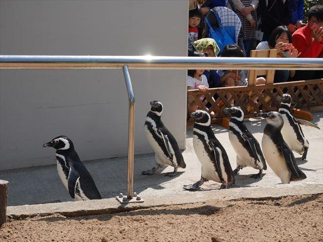 ペンギンのお散歩ライブ・須磨海浜水族園