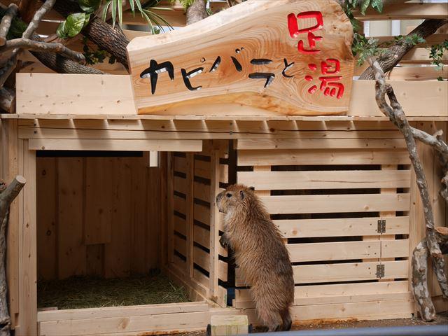 カピバラと足湯・須磨海浜水族園