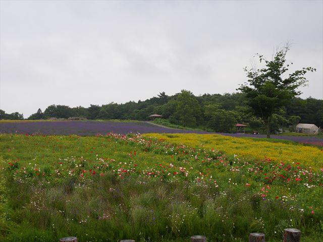 メナード青山リゾートのハーブガーデン「ラベンダーフェスタ」の様子・ラベンダーの開花状況と見ごろ