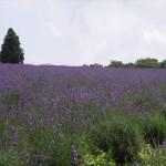 メナード青山リゾートのハーブガーデン「ラベンダーフェスタ」・ラベンダー畑