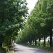 マキノ・メタセコイアの並木