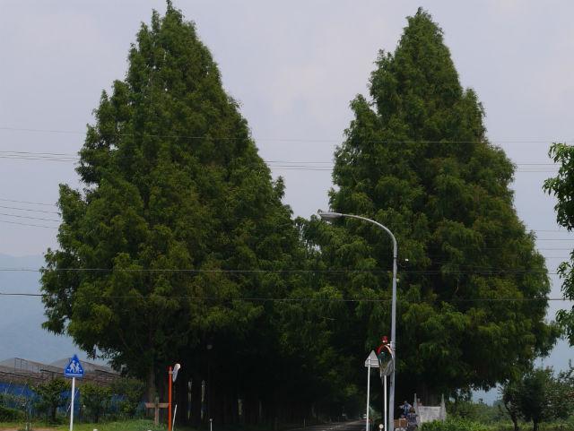マキノ・メタセコイアの並木道