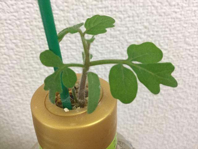 「ペットマト2」黄金プチトマト、葉がすくすく育つ