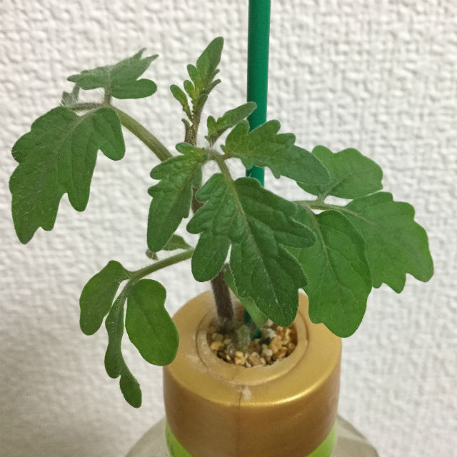 「ペットマト2」黄金プチトマト、種まきから丁度1ヶ月の様子