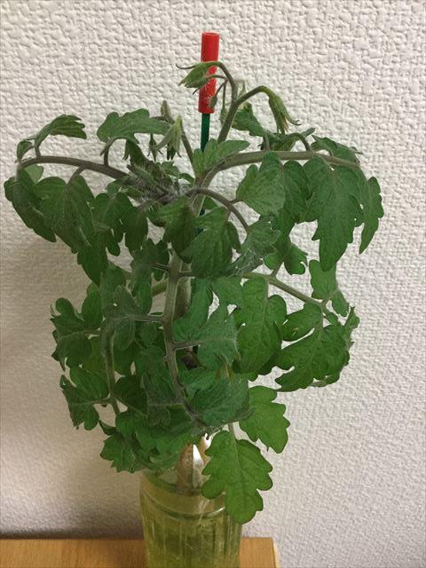 「ペットマト2」黄金プチトマト、2ヶ月目の成長の様子