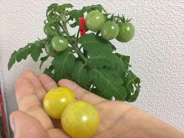 「ペットマト2」黄金プチトマト、3ヶ月たってプチトマトが出来た様子