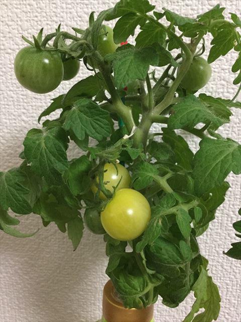 「ペットマト2」黄金プチトマト、どんどん色が変わってくる