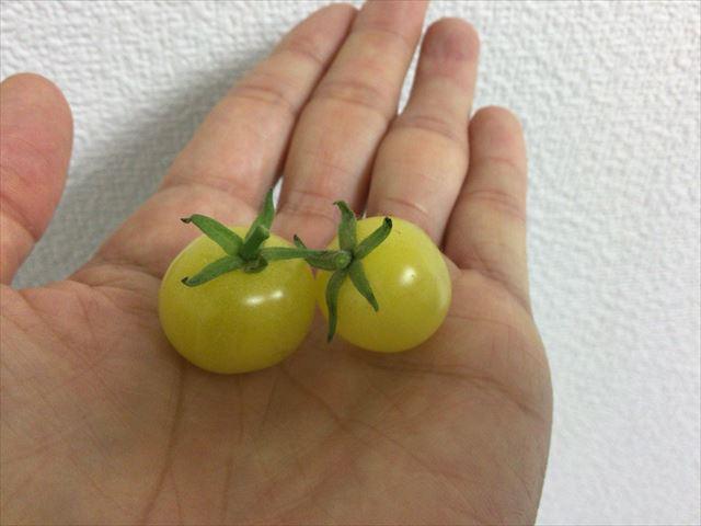 「ペットマト2」黄金プチトマト、また2つトマトが食べごろ