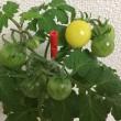 「ペットマト2」黄金プチトマト、続々成長中