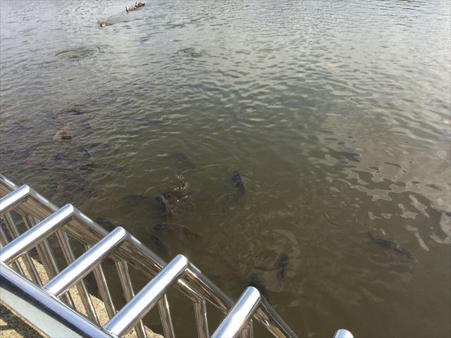 枚方市楠葉「市民の森」池の鯉