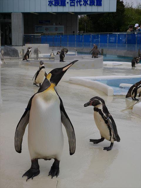 「志摩マリンランド」ペンギンお散歩タイム