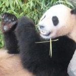 白浜アドベンチャーワールドのパンダン
