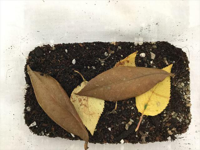 落ち葉とダンゴムシが入った飼育ケース