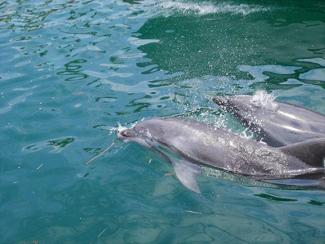 ポルトヨーロッパの川でイルカが泳いでいる