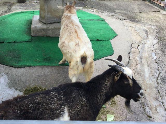 八幡市「子ども動物園」ヤギ