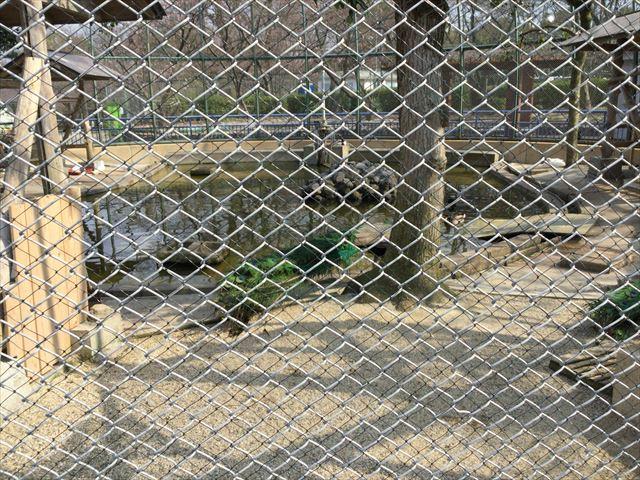 八幡市「子ども動物園」クジャク