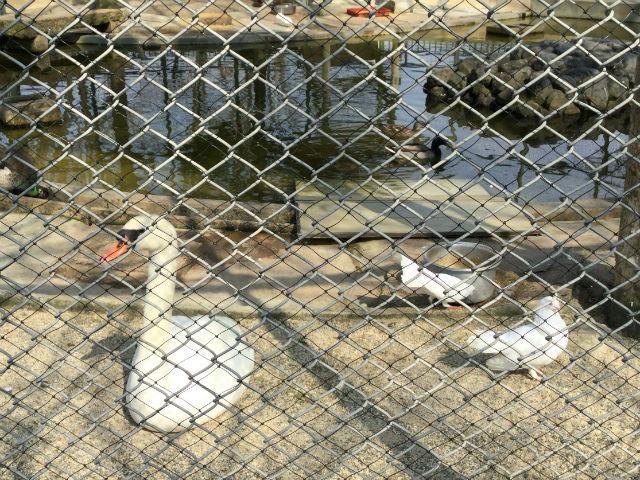 八幡市「子ども動物園」白鳥