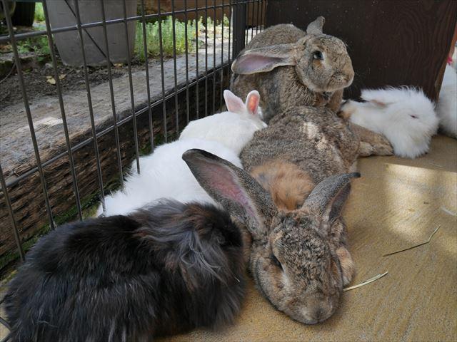 「神戸どうぶつ王国」のウサギたち
