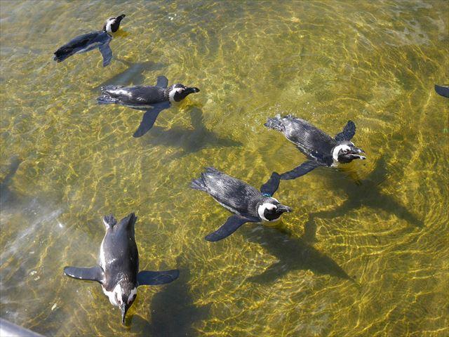 「神戸どうぶつ王国」水辺を泳ぐペンギンたち