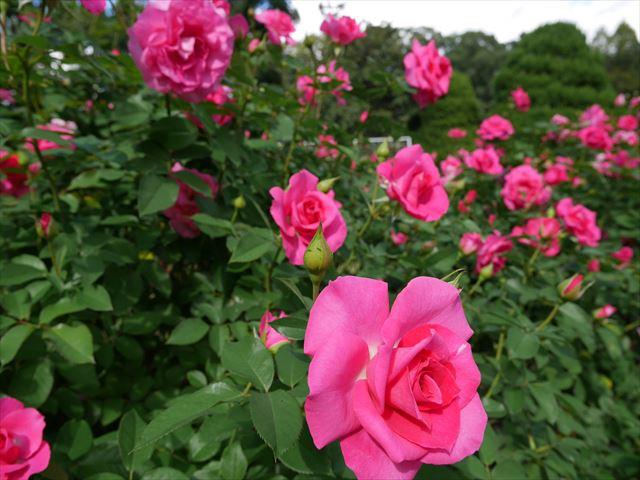 「京都府立植物園」バラ園のバラ