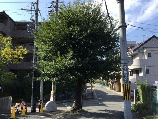叡山電鉄「宝ヶ池駅」すぐの1本の木